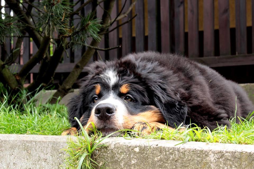 zielony. bernenski pies pasterski